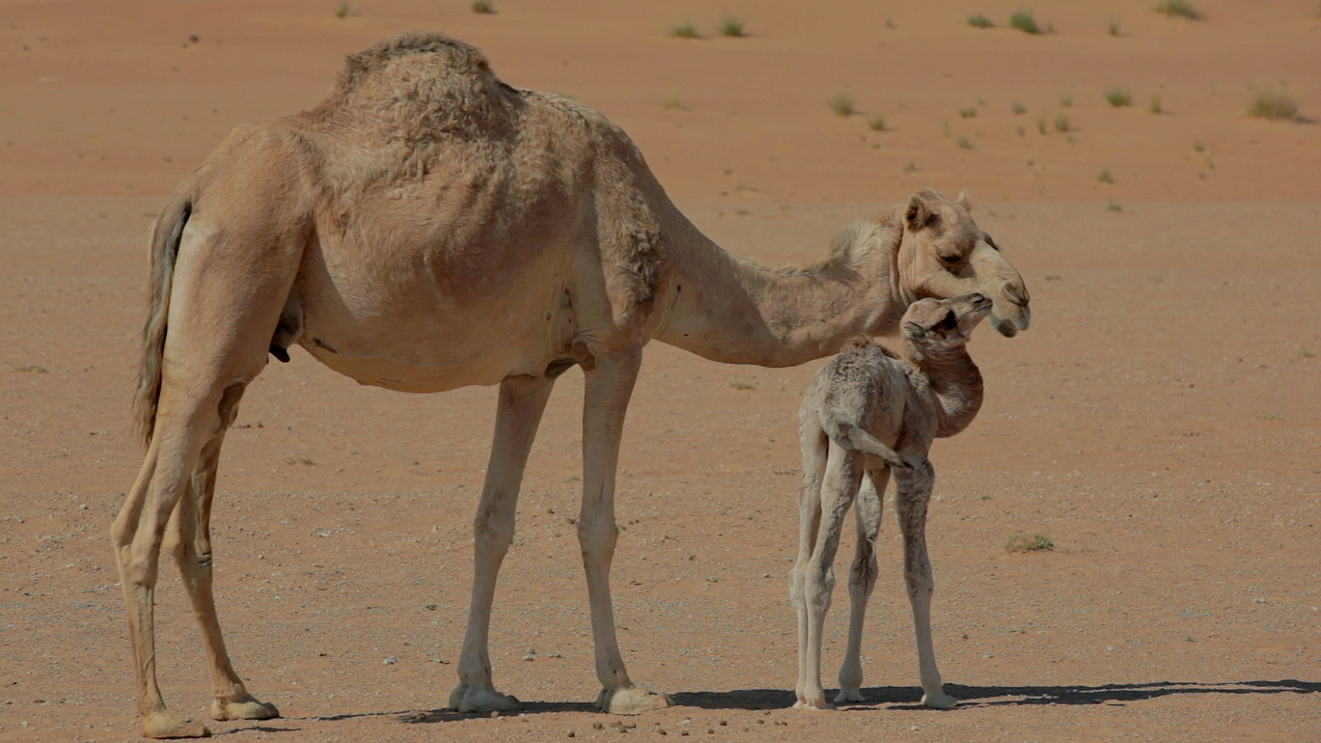 A baby camel and its mother in the Desert